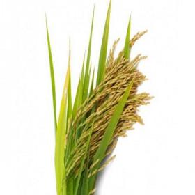 Пудра рисова