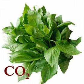СО2-экстракт базилика