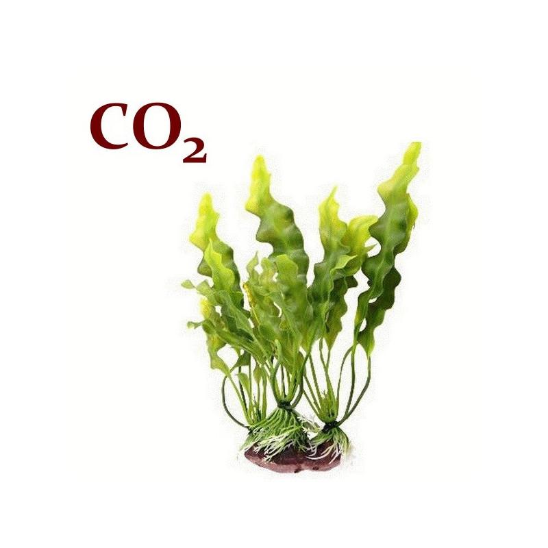 СО2-екстракт ламінарії