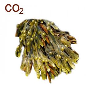 СО2-экстракт фукуса