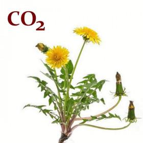 СО2-экстракт корня одуванчика