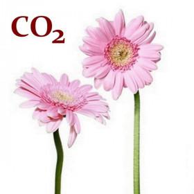 СО2-экстракт маргаритки
