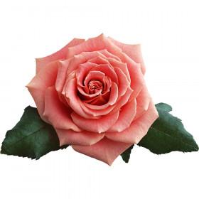 Чайна троянда віддушка